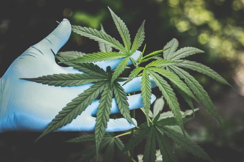 le chanvre est une plante durable et saine